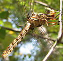 Dragonfly - Orthemis ferruginea - female