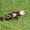 small moth - Bucculatrix