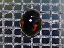 twice-stabbed lady beetle? - Calvia quatuordecimguttata