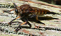 A Big, Giant Robber Fly - Promachus rufipes - female