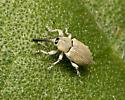 ID this weevil - Smicronyx sordidus