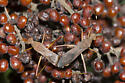 Mating Lupine Bugs - Megalotomus quinquespinosus - male - female