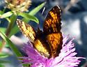 Orange skipper butterfly? - Phyciodes cocyta