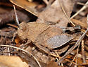 Oakleaf Grasshopper nymph (one of three color examples) - Tomonotus ferruginosus - female