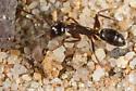 Camponotus anthrax? - Camponotus anthrax