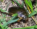 Large Beetle - Water Beetle? - Dytiscus circumcinctus