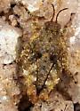Pygmy grasshopper short tail ? - Tetrix