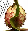 Phylloxera from large Carya texana leaflet gall - Phylloxera