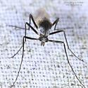 Cardiocladius - female
