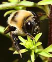 male Bombus auricomus? - Bombus auricomus - male
