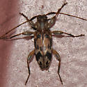 Long-horned beetle - Urgleptes signatus