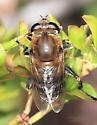 Stratiomyini ? - Polydontomyia curvipes - female