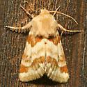 Moth - Schinia errans