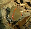 Pennsylvania Butterfly - Calycopis cecrops