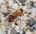 Large nocturnal ant