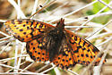 Purplish Fritillary_Boloria montinus - Boloria