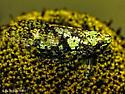 Calyptoproctus marmoratus