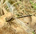 Oklahoma Clubtail - female 5 - Phanogomphus oklahomensis - female