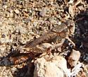 brown small grasshopper - Aidemona azteca - female