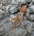 Northern Mole Cricket? - Neocurtilla hexadactyla
