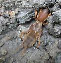 Northern Mole Cricket? - Neocurtilla hexadactyla