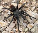 red-bodied tarantula 1 - Aphonopelma madera