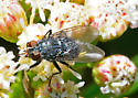 Small Fly on Mule Fat