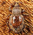 Coleoptera - Cercopeus