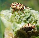 Leaf Beetles - Cryptocephalus leucomelas