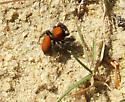 Phidippus apacheanus? - Phidippus cardinalis