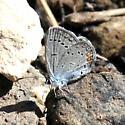 Western Tailed Blue - Cupido amyntula