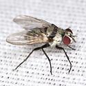 Root-maggot Fly - Anthomyia illocata