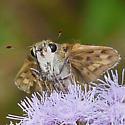 Fiery Skipper - Hylephila phyleus - female