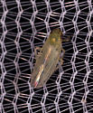 Leafhopper 6 - Macrosteles quadrilineatus