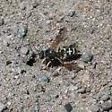 Utah burrowing wasp