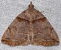 Variable Zanclognatha Moth - Zanclognatha laevigata