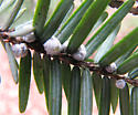Non-native pest of hemlocks - Adelges tsugae