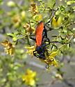 Tarantula hawk on creosote - Pepsis chrysothemis - female