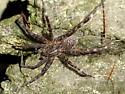 Dock Spider - Dolomedes scriptus