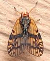 Bothriocera? - Bothriocera maculata