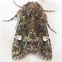 Unid. Moth - Lacinipolia mimula