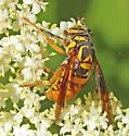 Hoverfly, Spilomyia genus? - Spilomyia texana