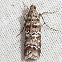 Southern Pine Coneworm Moth - Hodges #5853 - Dioryctria amatella