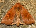 American ear moth - Amphipoea americana