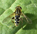 Syrphid fly? - Lejops