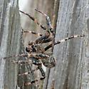 large male spider  - male