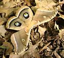 Unknown Moth - Antheraea polyphemus