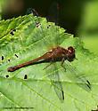 Meadowhawk - Sympetrum vicinum