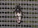 Need ID please - Adoxomyia subulata