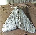 Toothed Phigalia Moth - Phigalia strigataria - male